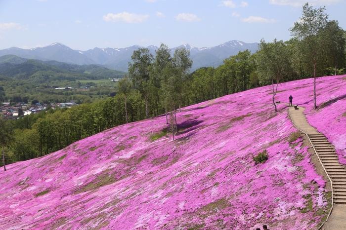 毎年5月上旬から6月上旬にかけて芝ざくら滝上公園では、なだらかな丘陵地帯一面に、濃淡ピンク、淡紫、白色の芝桜が競うように開花します。