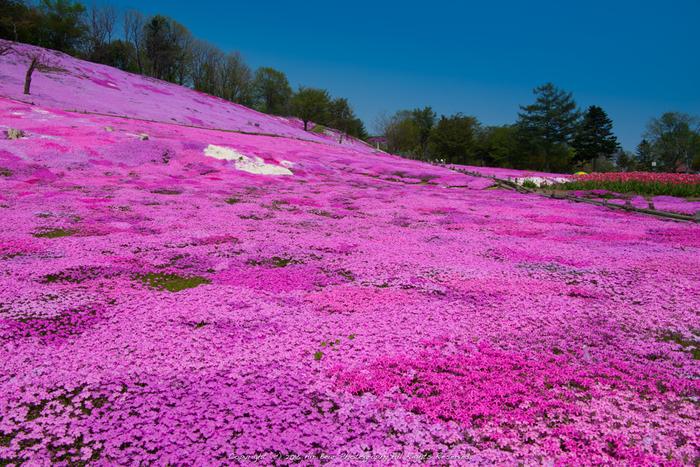太陽の丘えんがる公園では、なだらかな傾斜地となっている公園の敷地いっぱいに芝桜が開花します。濃淡ピンク、白の芝桜が大地を覆いつくす様は、まるで春そのものが舞い降りてきたかのようです。