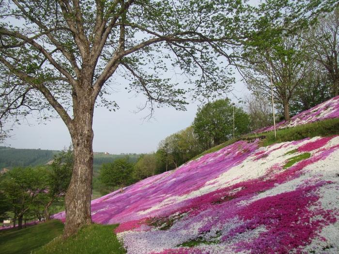 太陽の丘えんがる公園といえば、秋に咲くコスモスを思い浮かべる方も多いのではないでしょうか。しかし、ここは、遠軽町にやってくる遅い春を訪れる芝桜の名所でもあるのです。