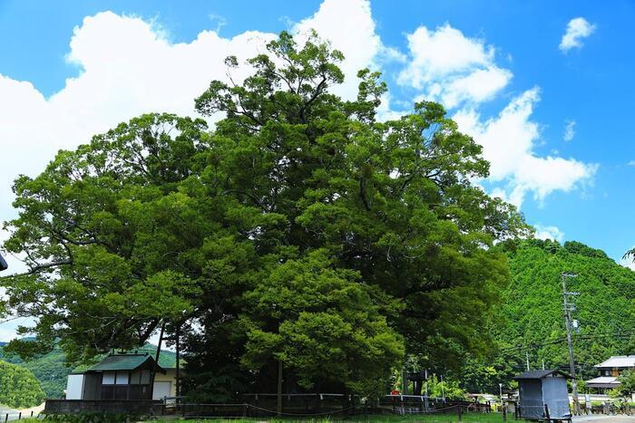 野間の大けやきは、大阪府最北端に位置するのどかな里山風景が広がる豊能郡能勢町の野間地区に自生しているケヤキの大木です。野間の大けやきは、国の天然記念物に指定されているほか、「大阪みどりの百選」にも選ばれています。