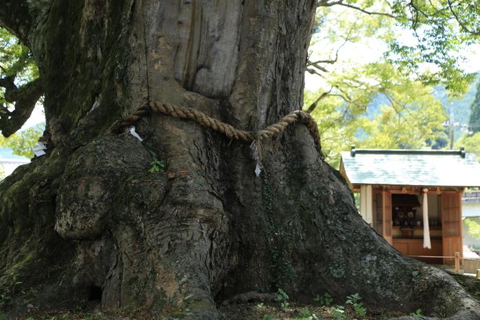 推定樹齢1000年を超す野間の大けやきは圧倒的な存在感を放っています。この木は高さ約36.2メートル、幹回り約13メートルにおよび、近くで見ると大自然の畏怖さえも感じさせるほどです。
