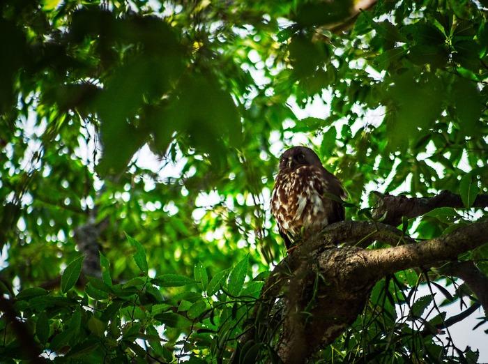 また、野間の大けやきには、フクロウ科のアオハズクが毎年飛来し、営巣して子育てをすることで有名です。アオハズクが訪れる時季になると、大勢の愛鳥家がカメラを構えて野間の大けやきを訪れています。