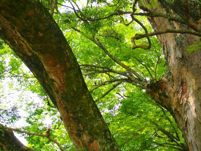 野間の大けやきは、7つの大枝に分かれ、小枝が四方に広がっており、枝張りの最大幅は約40メートルという大木です。新緑の季節に野間の大けやきを訪れると、まるで森林浴をしたかのような気分を味わうことができます。