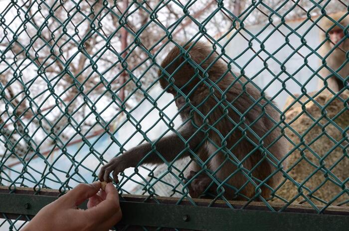 展望台の先にある「おさるの山」にも、ぜひ立ち寄ってみてください。購入したエサを差し出すと、手をめいっぱい伸ばしておねだりのアピール。赤ちゃん猿が生まれる春に訪れるのもおすすめですよ。