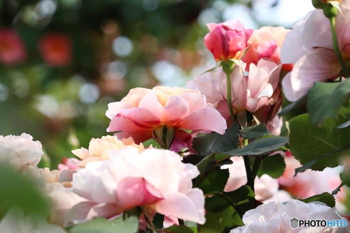 園内には、バラのコンクールで芳香賞を受賞した品種や、マリリン・モンローや、イングリッド・バーグマン、オードリー・ヘプバーンなどの有名人にちなんだバラなど、1,800種類ものバラが植えられています。ほかにも、ハーブや紫陽花など、さまざまな草花の美しさや香りを感じられます。