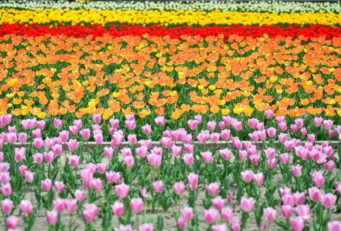 関東最大級のチューリップ畑があるのが、東京都羽村市の「根がらみ前水田」です。水田の休耕期間にチューリップを植えたのが始まりで、現在は60種・約40万本ものチューリップが色とりどりの花を咲かせています。
