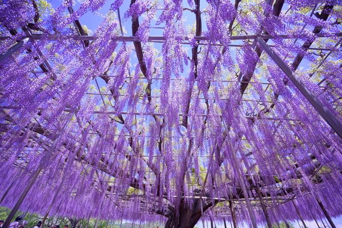 園のシンボルの大藤も、4月中旬~5月中旬に花を咲かせます。淡い紫色のカーテンのような藤のトンネルを通ると、上品な香りに包まれて贅沢な気分に浸れそう。藤の花が見ごろを迎える時期は、「ふじのはな物語~大藤まつり~」も開催され多くの人で賑わいます。