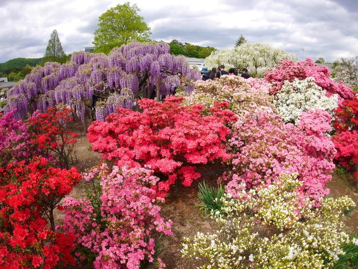 ツツジと藤の共演も見事です。園内には休憩場所やレストランもあるので、丸一日ゆっくり過ごせますよ。ほかにも、バラやシャクナゲなど華やかな花も多く咲いていて、見どころ満載です。
