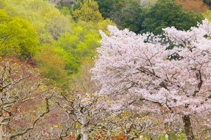 イルミネーションで有名な「あしかがフラワーパーク」は、お花の名所としても知られています。もともとは別の場所に開園したのですが、都市開発のために現在の場所へ移設。94,000平方メートルもの敷地には、春になると桜やレンギョウなどが咲き誇ります。