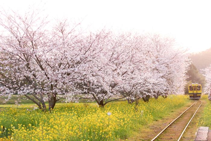 電車の車窓から眺めるお花畑もおすすめです。千葉県のローカル鉄道「いすみ鉄道」は、菜の花畑と桜並木の中をゆっくりと走ります。菜の花と同じ黄色い電車も風景とマッチしていて、写真撮影に訪れるファンも多いことで知られています。