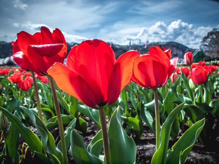 遠くに見える山々と鮮やかなチューリップ、青空のコントラストが見事です。毎年4月には「はむら花と水のまつり」が開催され、水田の周辺には模擬店なども出店し賑わいます。まつりの開催期間は、バスも運行しているのでアクセスが便利ですよ。