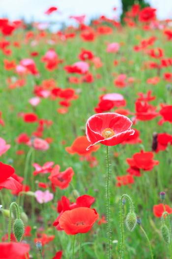 大草原やBMXコース周辺に咲くポピーは、細長い茎に可憐な花びらが印象的。赤やオレンジなど鮮やかな色が多く、ぱっと目をひきますね。5月中旬~下旬に見ごろを迎えるので、GWに訪れると満開の様子を見られるかも。
