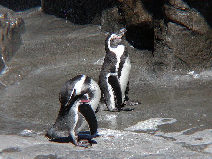選抜されたペンギンたちによるお散歩タイムは、階段を上ったり下りたり。冒険のような難関ルートになっています。ペンギン歩きを間近で見ることができるチャンスなので、かわいい姿に癒されたい方は是非!