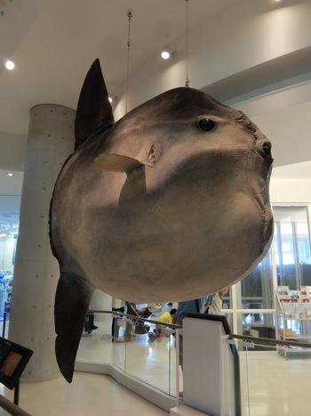 クジラやサメなど、海の生き物たちの実際の大きさや鳴き声を知ることができるミュージアムゾーン。こちらは、世界最大級のウシマンボウの剥製。タッチパネルやQ&Aで、海洋生物を楽しく学べます。