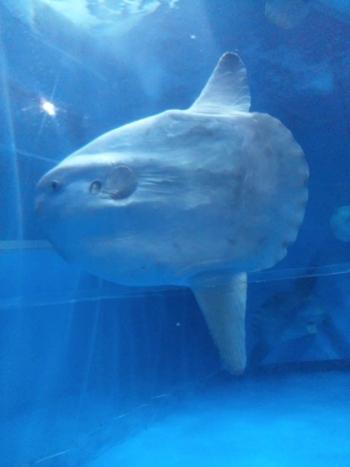 オホーツク海、タスマン海、沖縄の海など、世界の海に生息する魚たちを展示した世界の海ゾーンでは、大きなサメやマンボウ、そして色鮮やかな熱帯魚など、幅広い生き物たちを見ることができます。こちらは、日本一の水槽で泳ぐマンボウ。正面の顔にご注目!