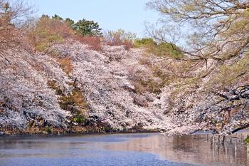 2017年に開園100周年を迎えた井の頭恩賜公園。井の頭池の周りに植えられた桜は、池の水に映えてなんとも美しい眺めです*井の頭自然文化園という動物園もあり一日中楽しめます。