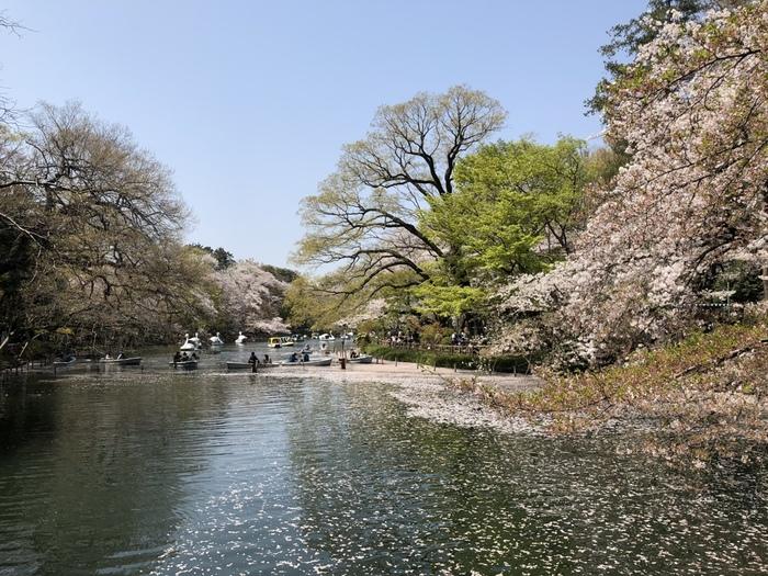 吉祥寺駅近くの井の頭恩賜公園。井の頭公園の名前で知られているこの公園は、アヒルのボートでも有名です。四季折々のお花が楽しめる公園でもあるので、今月はどんなお花かな?と訪れるたびに楽しみがあるのも嬉しいですね。