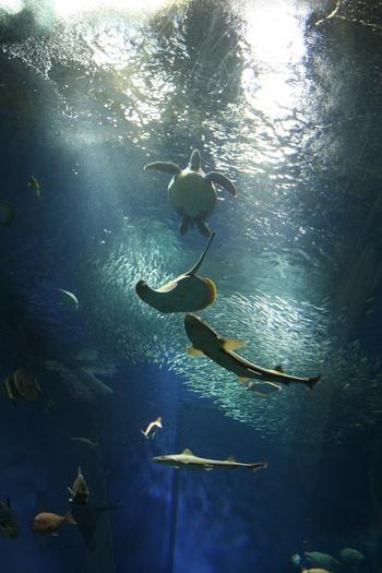 出会いの海ゾーンで待ち受けるのは、茨城県の海を再現した巨大水槽の中で泳ぐ80種2万匹の魚たちです。海ガメやエイなど、悠々と泳ぐ姿は圧巻の光景ですよ。