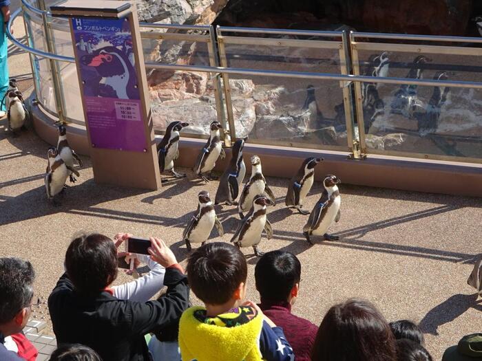 おとぼけ姿のペンギンやヨチヨチ歩きで頑張る姿に、ついつい笑顔になってしまいますよ。ちなみに、お散歩タイム中はお食事タイムが中止になります。また、鳥インフルエンザにより中止になる場合もあるので、事前にプログラム確認をするか館内の案内に従って下さい。