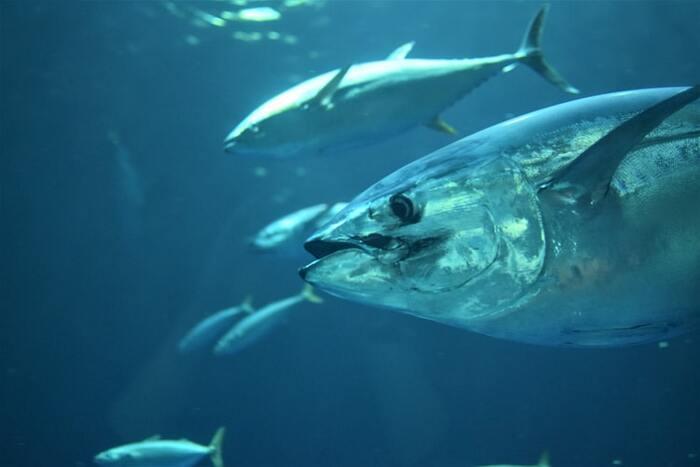生きている魚の命をいただく私たちだから、どんな姿で泳いでいたのか、どのくらいの大きさで旬の季節はいつごろだったかなど、魚の生体について知り、その上で海を元気よく泳いでいた魚に思いを馳せながらさばいてみることも時には大切ではないでしょうか。