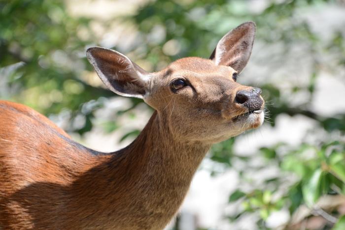 宮島では、かわいい鹿に出合えるのも魅力。島内どこへ行っても自由にのびのびと過ごしており、気軽に触れ合うことができます。愛らしいその姿もぜじょ写真に収めたいですね。