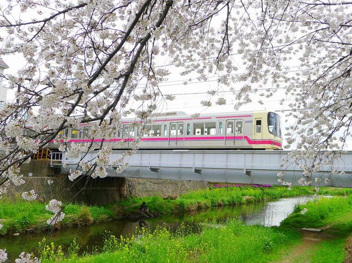 都内で自然豊かな風景に咲く桜を楽しめるのが、小金井市と三鷹市にある「野川エリア」です。川沿いに咲く桜と菜の花を車窓から望めます。