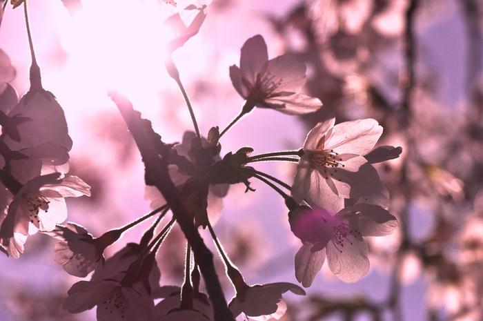 やわらかな春の陽射しに透ける花びらがとてもキレイ。多磨霊園は、江戸川乱歩や北原白秋などの著名人も多く眠る墓地なので、静かに鑑賞するのがマナーです。しっとり大人のお花見を楽しみましょう。