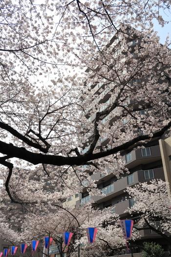 茗荷谷駅から7~8分歩いたところにある「播磨坂」。ここには、大名・松平播磨守の広大な屋敷があったことから名づけられました。桜が植えられたのは、1960年(昭和35年)。現在は約120本の桜が毎年見事な花を咲かせます。