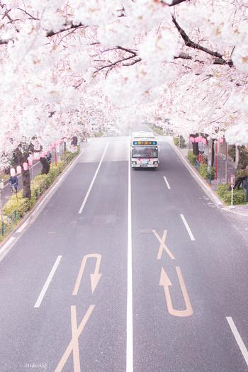 約2kmにわたり、約300本の桜が咲き誇ります。歩道橋の上から眺めると、桜がトンネルのように広い道路を覆っていてとてもキレイ。