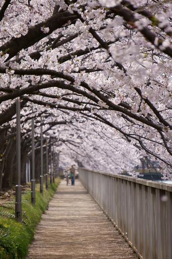 川沿いに約1.3km続く桜並木。約270本のソメイヨシノが咲き誇ります。立ち止まってお花見、というよりは歩きながら桜を楽しむのがおすすめ。満開を過ぎると遊歩道が、淡いピンク色に染まります。