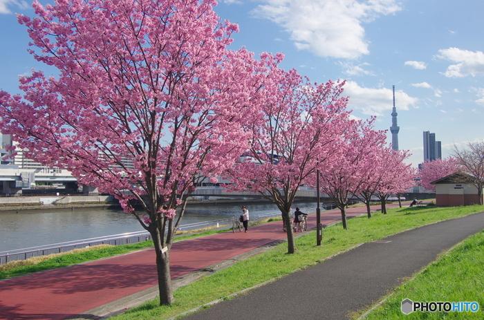 隅田川沿いにある「汐入公園」は、バーベキューなど地元の方の憩いの場として親しまれていますが、面積が12.9haと広大なので、ゆっくりとお花見を楽しめるスポットです。
