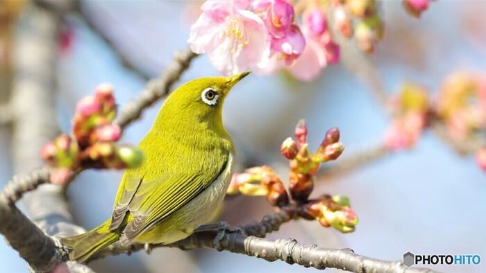 園内では、野鳥の姿も見られます。メジロも春の訪れを楽しんでいるように見えませんか?レジャーシートを敷いて、ピクニック気分でのんびり過ごすのにぴったりなお花見スポットです。