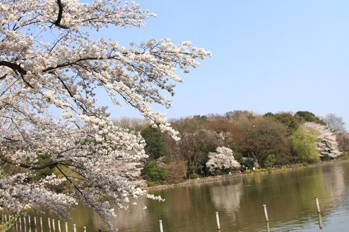 武蔵野三大湧水池のひとつとして知られる善福寺池の周辺でも、お花見を楽しめます。「善福寺公園」は近くにある吉祥寺の井の頭公園にくらべると混雑が少なく、ゆっくりできるのが魅力。