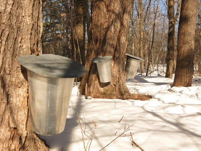 自分の山を持っていたり、庭にカエデのあるお宅ではもちろん根気強く樹液から天然100%のメープルシロップを作りだすことも可能です。ただし、気候条件は厳しく『夜中に氷点下』を迎える時期の採取が必要です。そこからひと月ほどかかるので、お住まいの地域の気温を逆算して調整してみてくださいね。  《用意するもの》 ・電動ドリル ・ホース&ジョイント(木に指すもの) ・バケツまたはタンク(樹液を溜めるもの)  《実際の手順》 1)カエデにドリルで直径1cmほど穴をあける。(深さは3cm程度) 2)穴にホースと繋がったジョイントを差し込み、バケツをセット ※虫や枯れ葉などが入らないようカバーをしましょう。 3)およそ1か月…樹液が溜まったら回収 4)高温で煮詰めて不要な水分を蒸発させる →4を繰り返すことでメープルシロップができあがります。