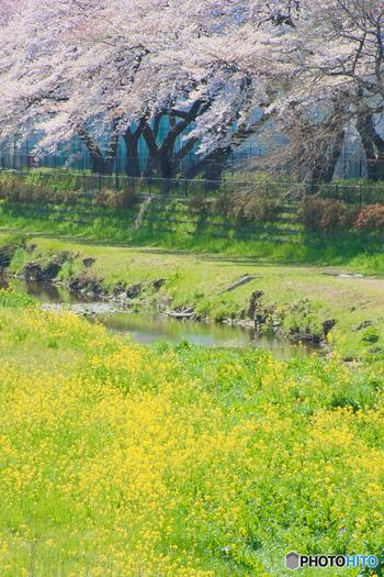 川沿いには遊歩道が整備されているので、ゆっくりと歩くのにぴったり。少し離れたところから眺める桜と菜の花の競演が、穏やかな春を感じさせます。
