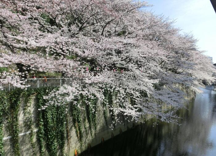 桜の頃は、花枝が神田川に迫り出して広がり、実に見事で華やか。都内の桜の名所の一つで花の頃は賑わいますが、目黒川沿いほど混まず、お勧めのスポットです。【江戸川公園近辺の神田川】