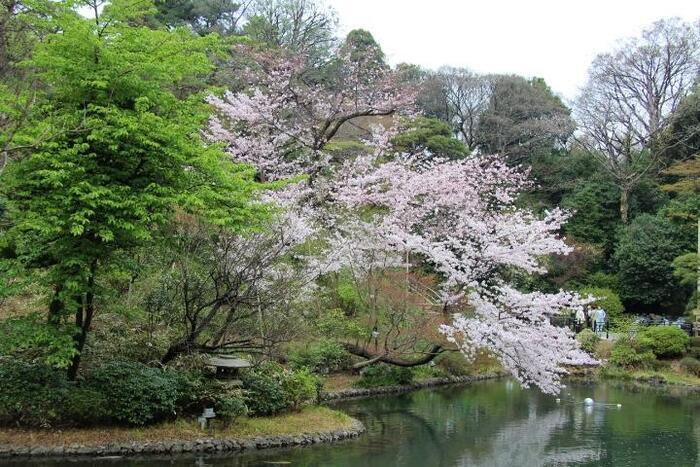 """「椿山荘」の素晴らしさは、関口の台地の崖線地形と豊かな自然を生かした日本庭園です。 茶道にも作庭にも造詣深く、和歌を嗜んでいた山縣と、名庭師・岩本吾郎が手掛けた庭園は、京都の「無鄰菴」、小田原の「古稀庵」と共に""""山縣三名園""""として知られています。【4月初旬の桜の頃の「椿山荘」庭園】"""