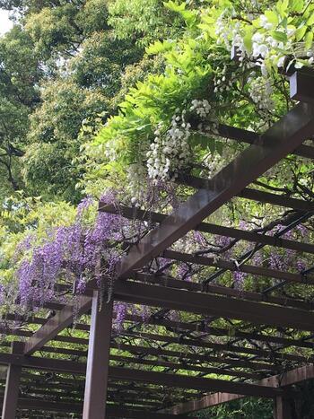 """公園名に""""江戸川""""とあるのは、かつてこの界隈の神田川が""""江戸川""""と呼ばれていたため、その名が付けられています。 【4月下旬の「江戸川公園」内の藤棚】"""