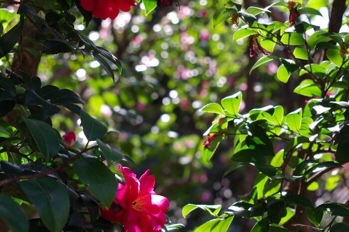"""都内屈指の式場、高級ホテルとして知られる「椿山荘」は、明治維新で活躍した山縣有朋の元屋敷です。  神田川に接し「関口台地」上にある「椿山荘」周辺は、起伏に富み、幕府が開く以前から、自然豊かな田園地帯だった場所です。中でも、現在「椿山荘」が建つ周囲は、""""つばきやま""""と呼ばれる程に""""椿""""が群生し、風光明媚な景勝地として知られていました。  【2万坪にも及ぶ広大な敷地には、約100種類1000株もの椿が植生され、晩秋から春先まで、様々な椿が咲き継いで、庭園彩る。】"""