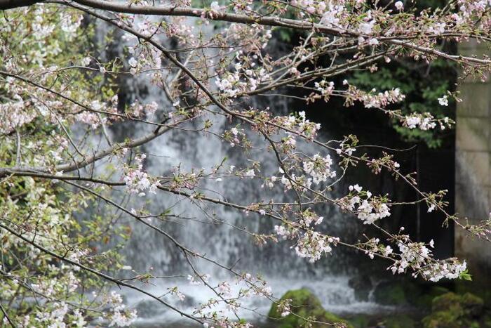 園内には、1000株の椿だけでなく、桜も種々様々に植えられ、紅葉時も美しく、四季折々に、情緒ある景色を楽しむことが出来ます。
