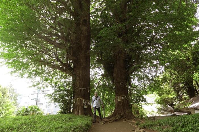 小さな祠状の社殿があるだけの小さな神社ですが、素晴らしいのが、立派な枝ぶりの二本の大銀杏です。晩秋の頃なると、辺り一面を真っ黄色に染め上げ、見事な景色となります。【神社境内に立つ新緑の大銀杏(文京区保護樹林)】