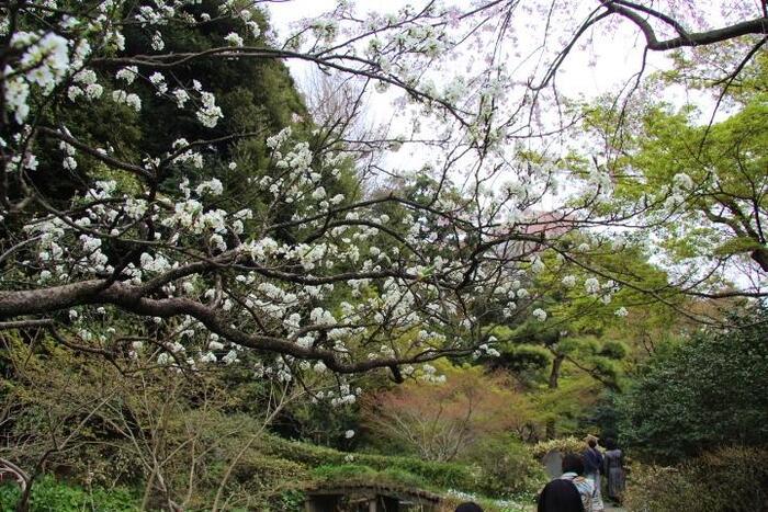 """「芭蕉庵」の魅力は、ひっそりとした静けさ。""""明治の佇まいを残すように作庭当時の自然石を使用した""""園路を進めば、都心部とは思えないほどの深い緑と静寂さを味わうことが出来ます。【4月初旬の「関口芭蕉庵」庭園】"""