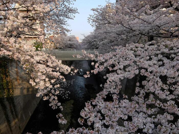 桜の季節なら、「早稲田駅」の一つ先「面影橋駅」まで歩くのがお勧めです。神田川に架かる橋上から、トンネル状に続く桜の絶景が眺められます。【満開の桜の頃の神田川・仲之橋近辺】