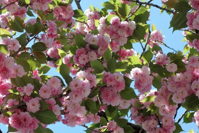 浅草や深川、柴又といった下町も、江戸庶民の粋が感じられて面白いですが、山の手界隈に流れる独特の風情も捨てがたいものがあります。  中でも、音羽や目白台界隈には、江戸から近代、そして現代へと、文化的にも経済的にも恵まれた人々によって連綿と受け継がれてきた文教地区ならではの風情があります。【4月下旬「肥後細川庭園」近隣に咲く八重桜。】