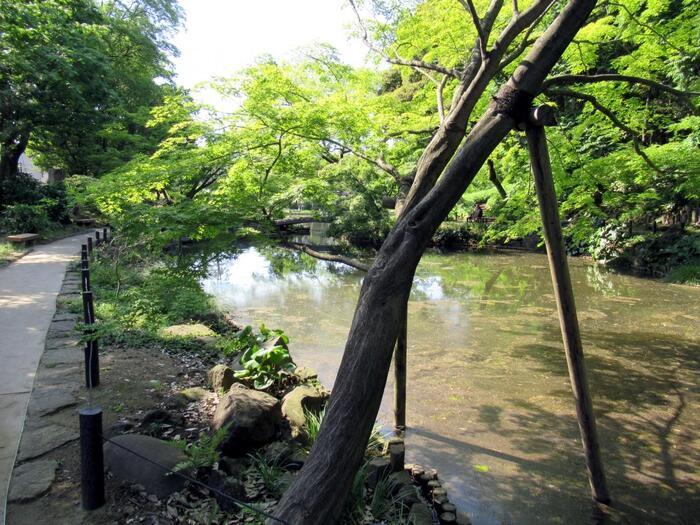 """台地と接する""""低地""""や""""谷""""の殆どは、海水の後退や川の侵食により形成されたものですが、一部の谷は、伏流水が台地の端で湧き出ることによって出来たものです。  本記事で紹介する、目白台(関口台地)の高台から神田川へと落ち込む""""谷""""もそうした場所の一つ。 谷へと落ち込む傾斜地は、滋養を含んだ湧水によって土地が潤い、緑が育まれ、自然豊かな環境、生き生きとした景観を提供してくれます。【関口台地・崖地の湧水を引き込んで造園された「肥後細川庭園」(池泉回遊式庭園)】"""