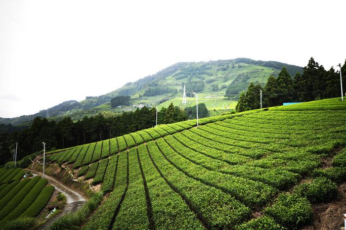 """掛川市と島田市にまたがる「粟ヶ岳」は、標高532m。南東の斜面にはヒノキで""""茶""""の文字が植林されていて、遠くからも山の場所が分かります。ふもとから山頂までは歩いて約1時間ほどなので、ハイキングするのも気持ちよさそう。"""