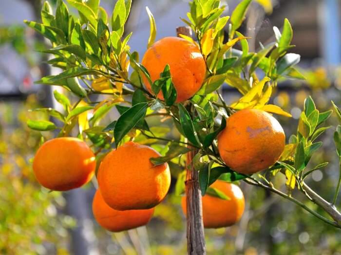 柑橘系の植物は、アゲハチョウの幼虫がつきやすいので、こまめに手入れし、害虫を見つけたときは早急に対応することが大切です。また、早どりすると、低糖度になってしまうので、収穫の時期にも注意することが必要です。