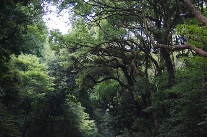 明治神宮の「鎮守の杜」は、「東京都23区内にこんなに豊かな自然が残っている」と錯覚しそうな雰囲気を醸し出しています。しかし、「鎮守の杜」は、1920年の明治神宮創建時に植樹された人工的な森なのです。