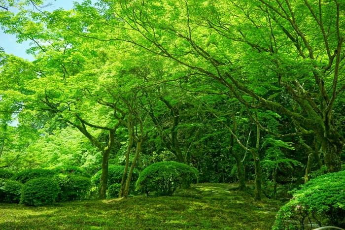 初夏の九年庵は、美しい緑色に染まります。青もみじと青苔が作り出す青々とした風景に目を奪われますね。日本庭園の素晴らしさに気づくきっかけになりそうです。