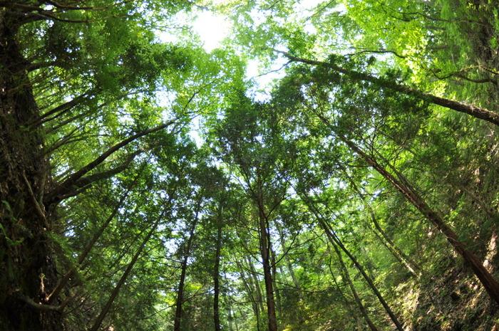 「森林浴」とは、樹木に接することで、人間の心身への癒しを求める行為のこと。欧米などでは「森林セラピー」「自然療法」として森林浴が、医療行為として実用化されている国、保険が適用されている国もあります。